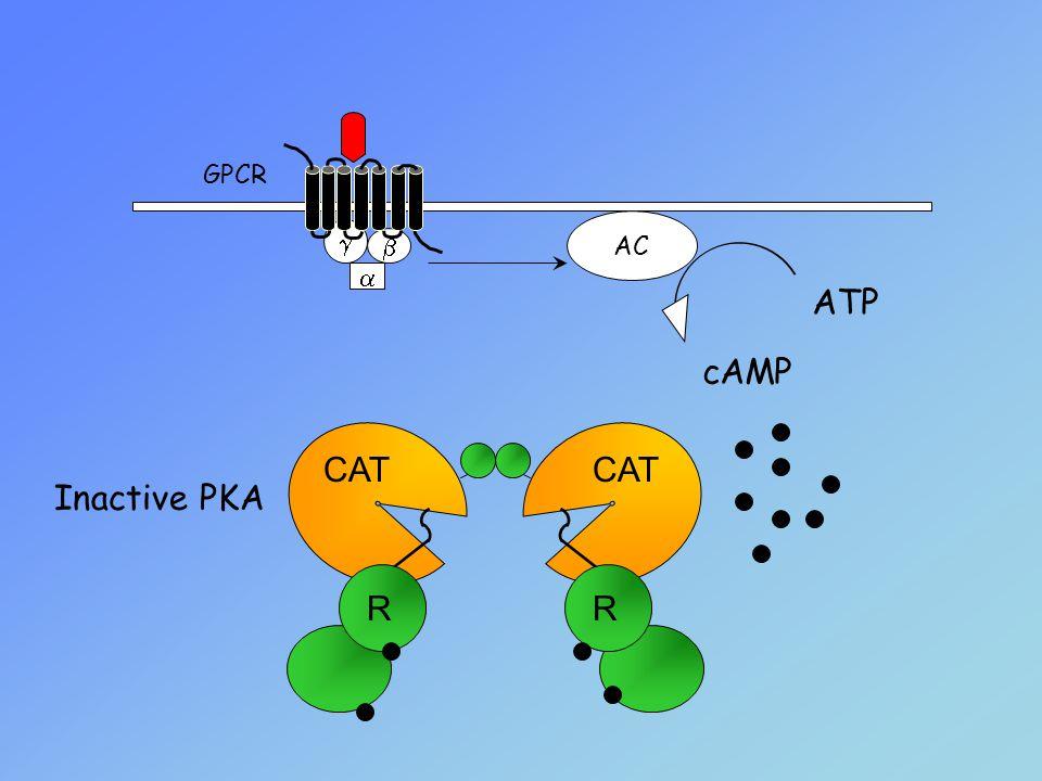 GPCR AC g b ATP cAMP a CAT R Inactive PKA