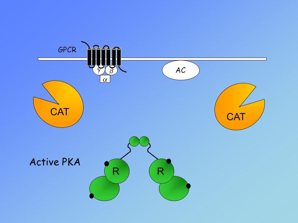 GPCR AC g b a CAT CAT Active PKA R R