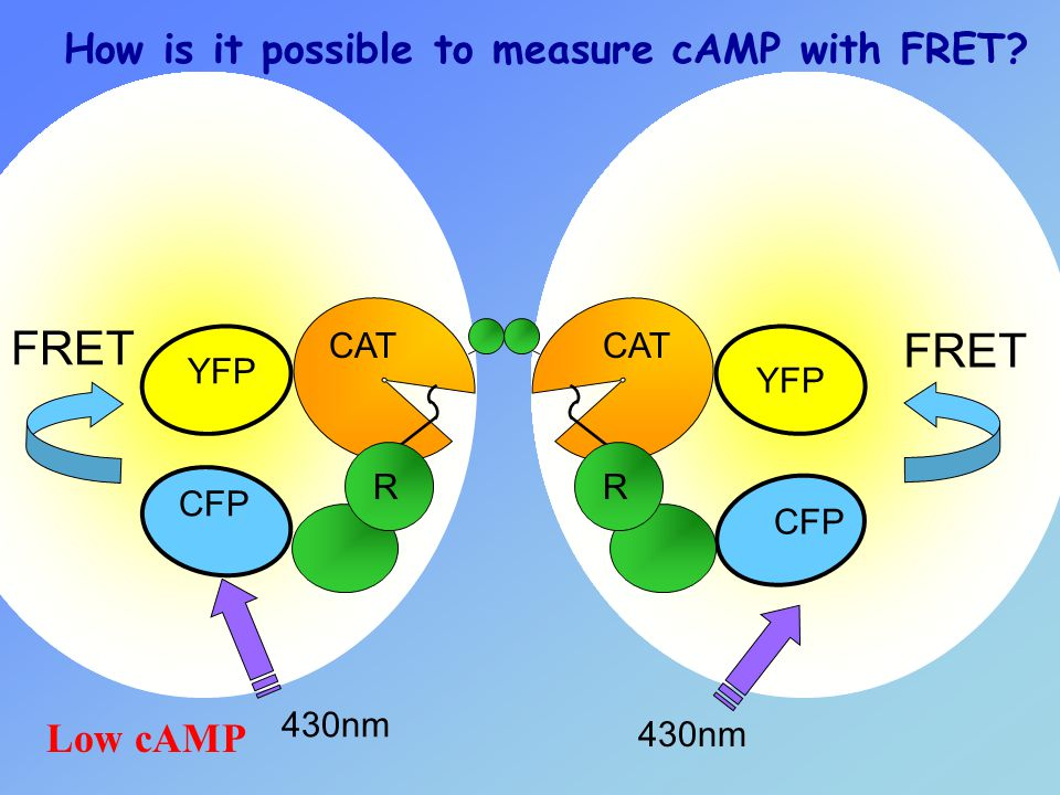 FRET How is it possible to measure cAMP with FRET Low cAMP CAT YFP R