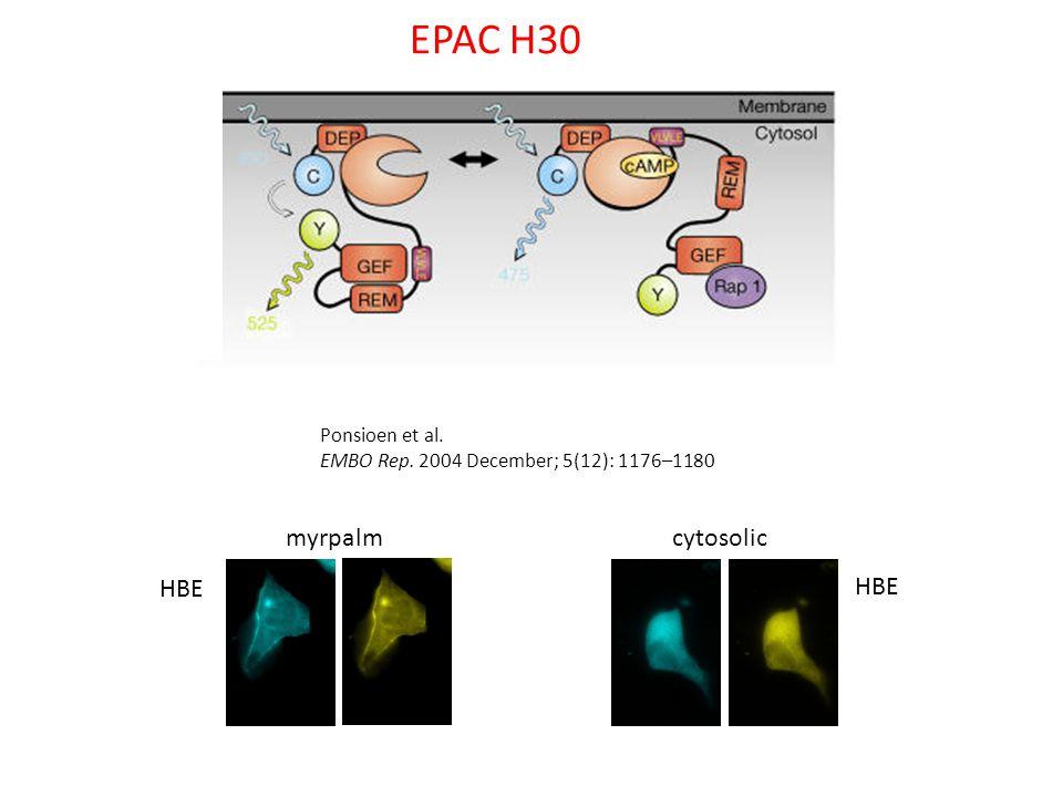 EPAC H30 myrpalm cytosolic HBE HBE Ponsioen et al.