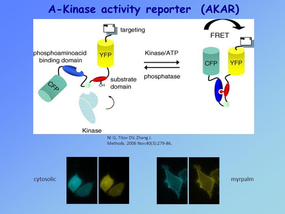 A-Kinase activity reporter (AKAR)