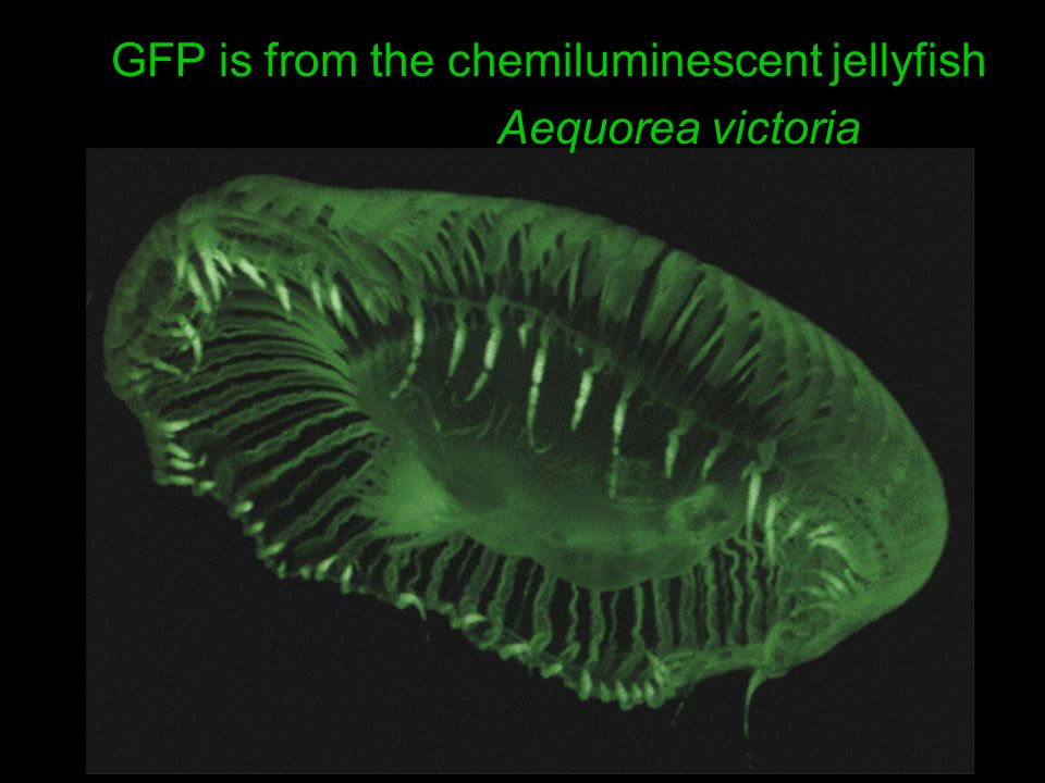 GFP is from the chemiluminescent jellyfish