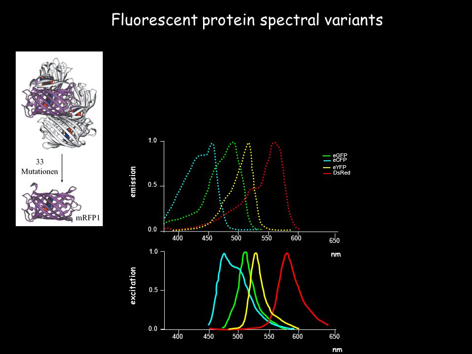 Fluorescent protein spectral variants