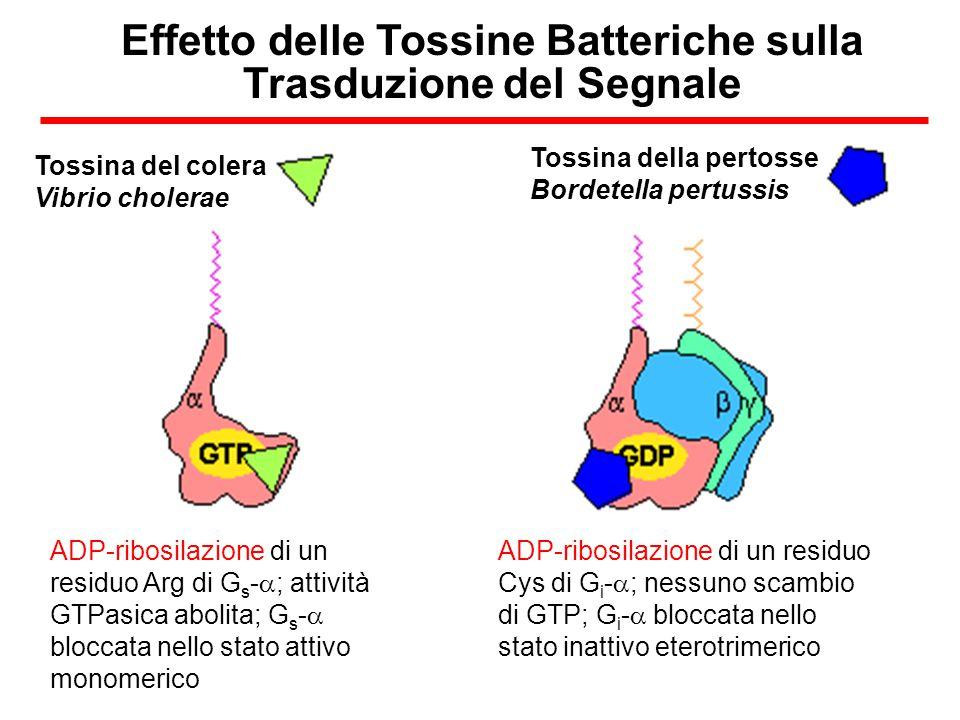 Effetto delle Tossine Batteriche sulla Trasduzione del Segnale