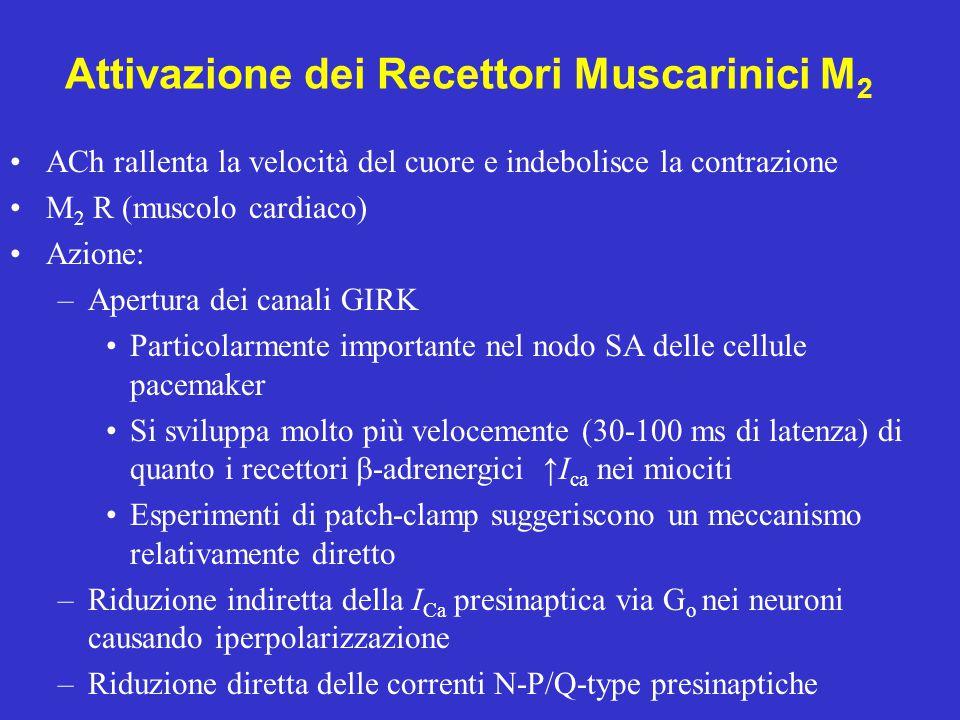 Attivazione dei Recettori Muscarinici M2
