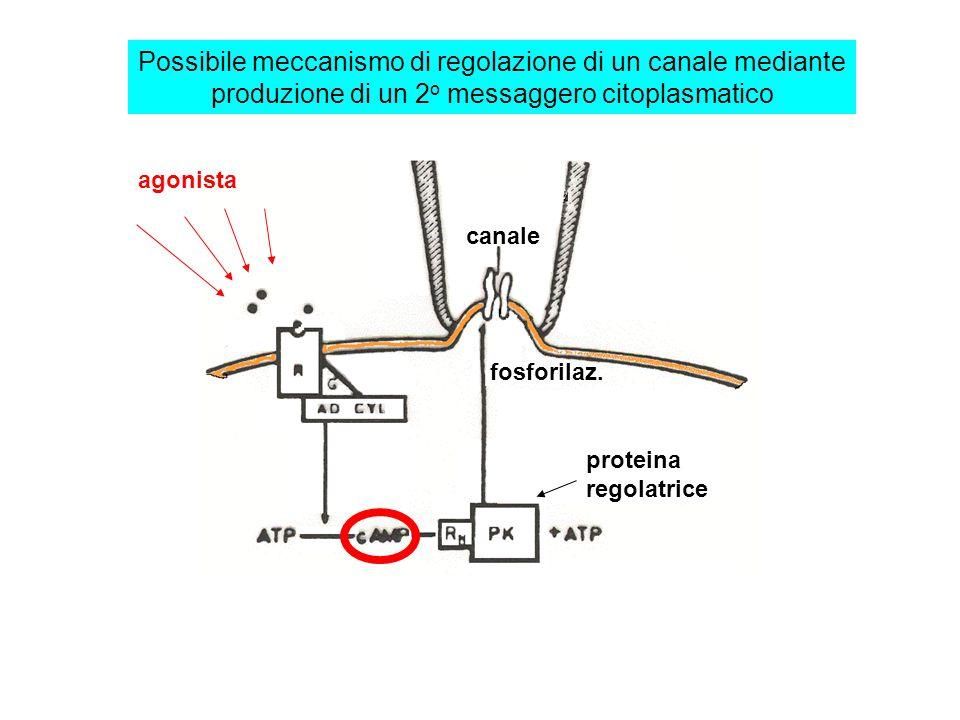 Possibile meccanismo di regolazione di un canale mediante produzione di un 2o messaggero citoplasmatico