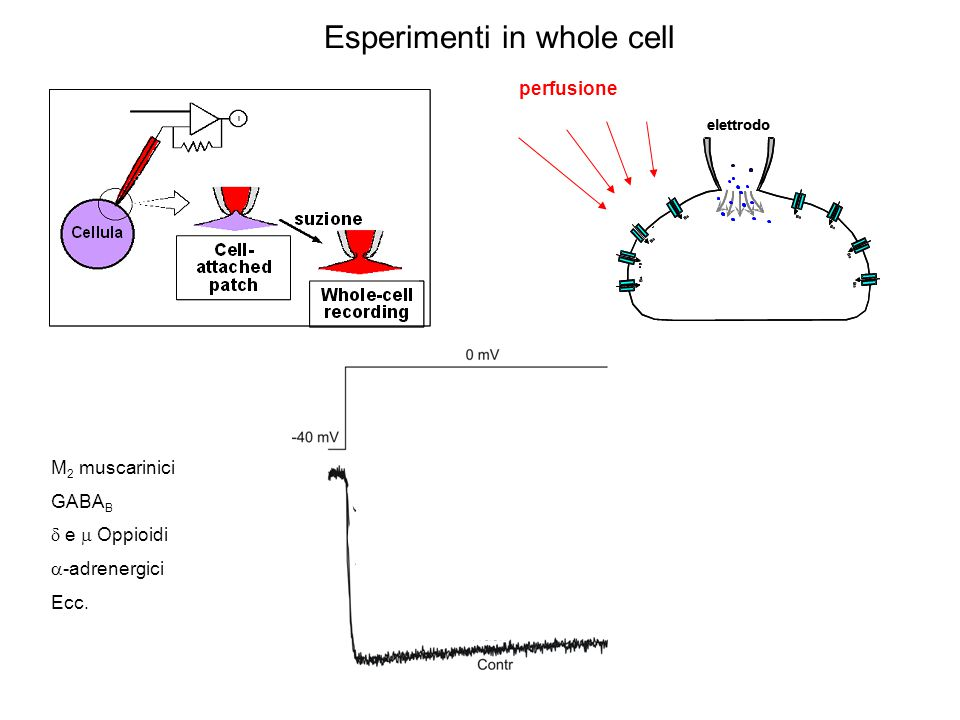 Esperimenti in whole cell