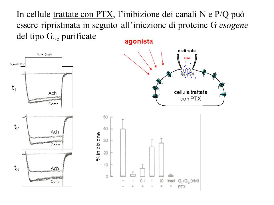 cellula trattata con PTX