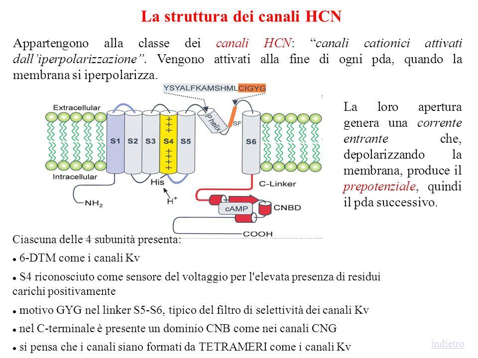 La struttura dei canali HCN
