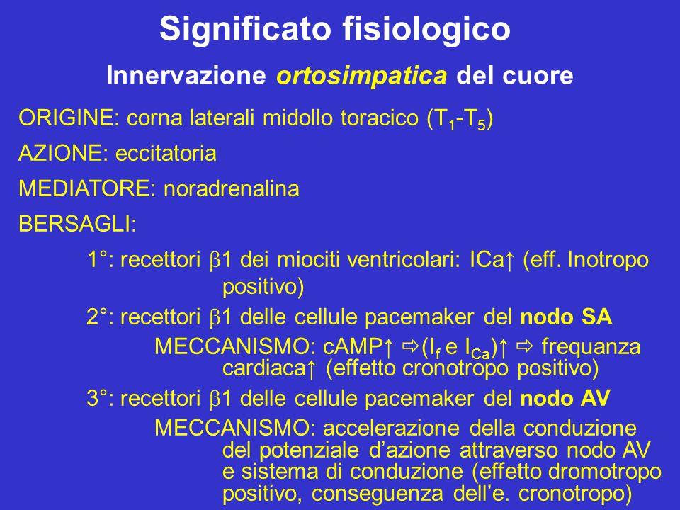Significato fisiologico Innervazione ortosimpatica del cuore