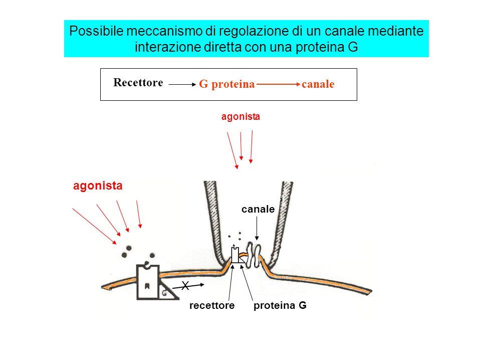 Possibile meccanismo di regolazione di un canale mediante interazione diretta con una proteina G