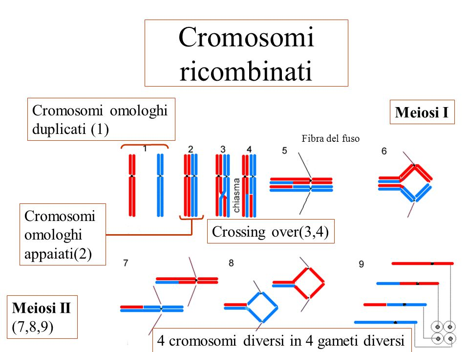 Cromosomi ricombinati