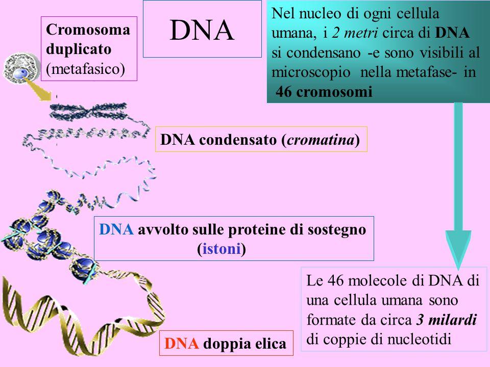 DNA Nel nucleo di ogni cellula umana, i 2 metri circa di DNA Cromosoma