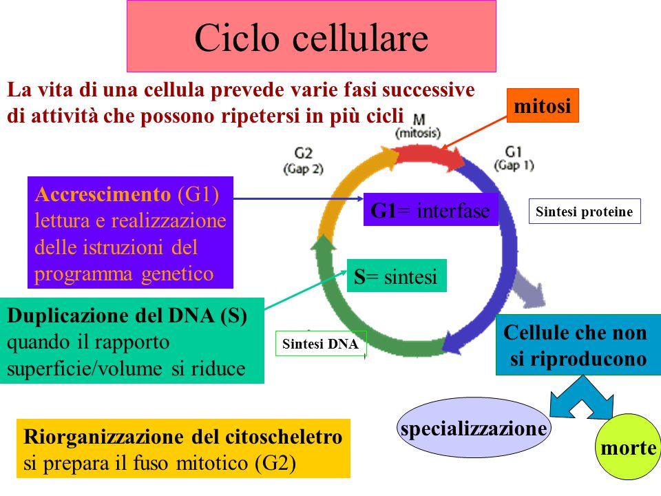Ciclo cellulare La vita di una cellula prevede varie fasi successive