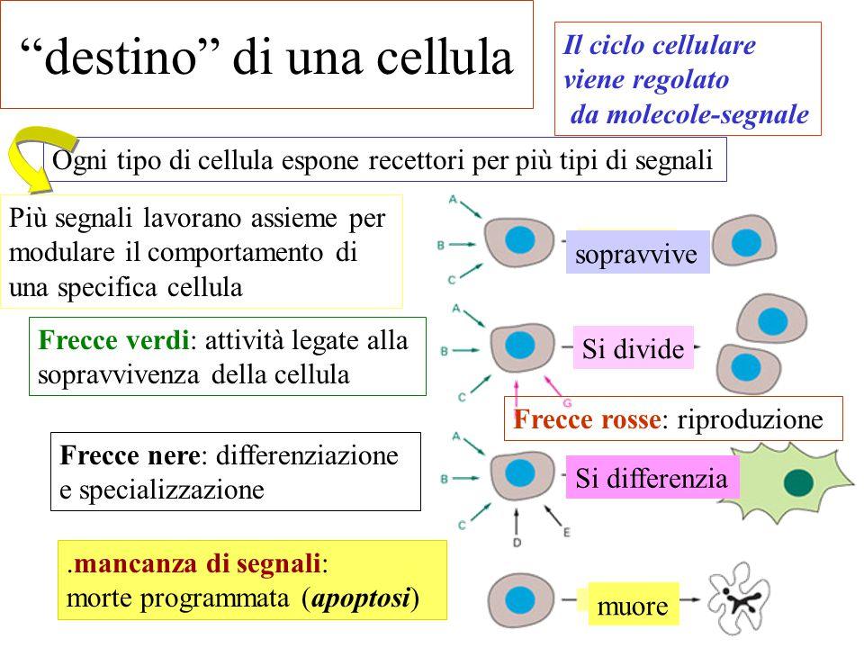 destino di una cellula