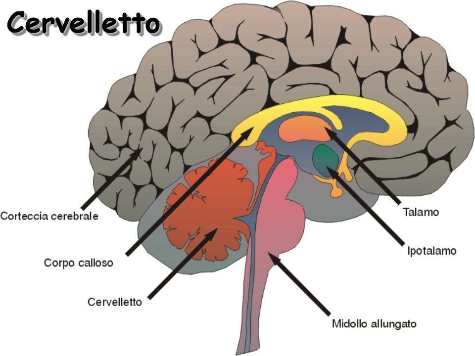 Cervelletto