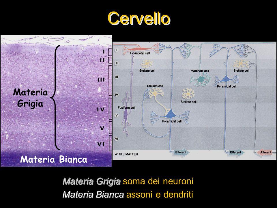 Cervello Materia Grigia Materia Bianca Materia Grigia soma dei neuroni