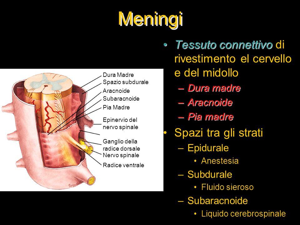Meningi Tessuto connettivo di rivestimento el cervello e del midollo
