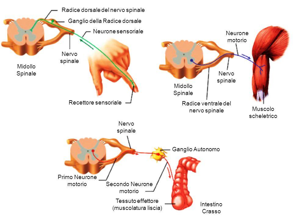 Radice dorsale del nervo spinale