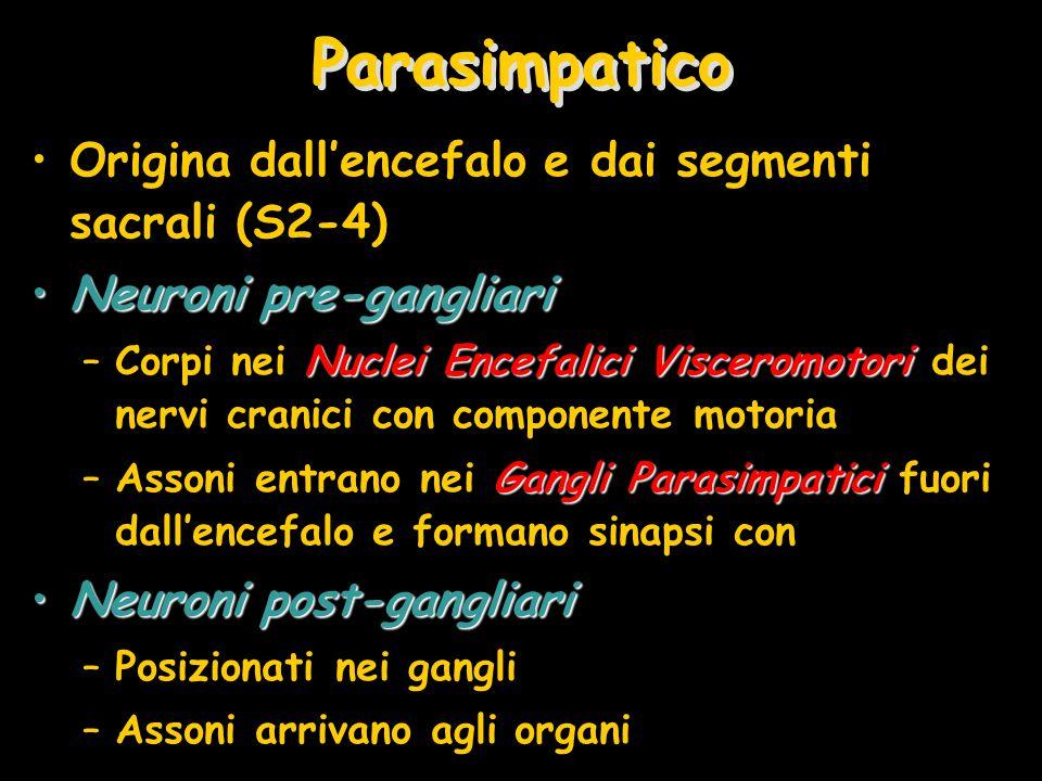 Parasimpatico Origina dall'encefalo e dai segmenti sacrali (S2-4)