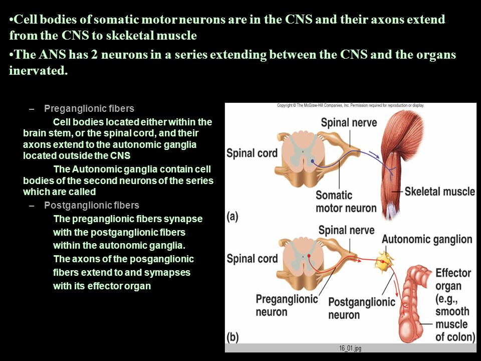 Cell bodies of somatic motor neurons are in the CNS and their axons extend from the CNS to skeketal muscle