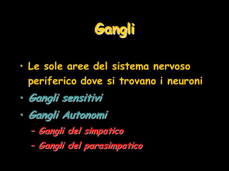 Gangli Le sole aree del sistema nervoso periferico dove si trovano i neuroni. Gangli sensitivi. Gangli Autonomi.