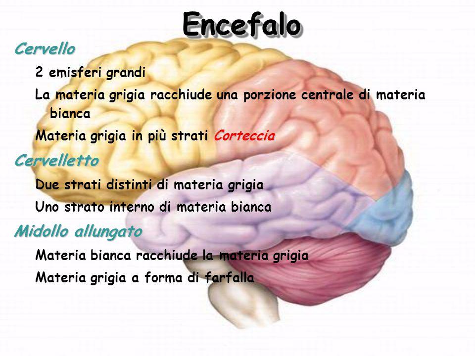Encefalo Cervello Cervelletto Midollo allungato 2 emisferi grandi