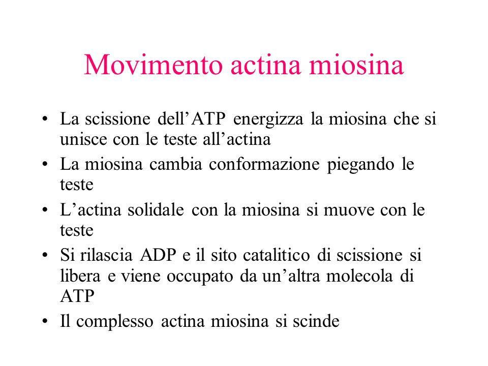 Movimento actina miosina