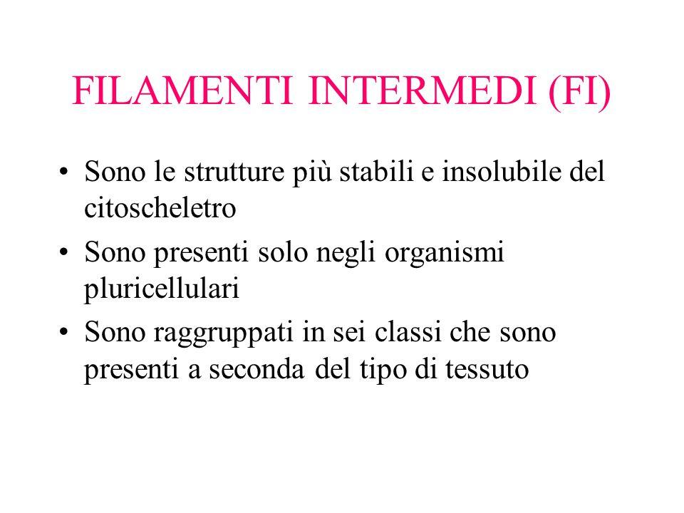 FILAMENTI INTERMEDI (FI)