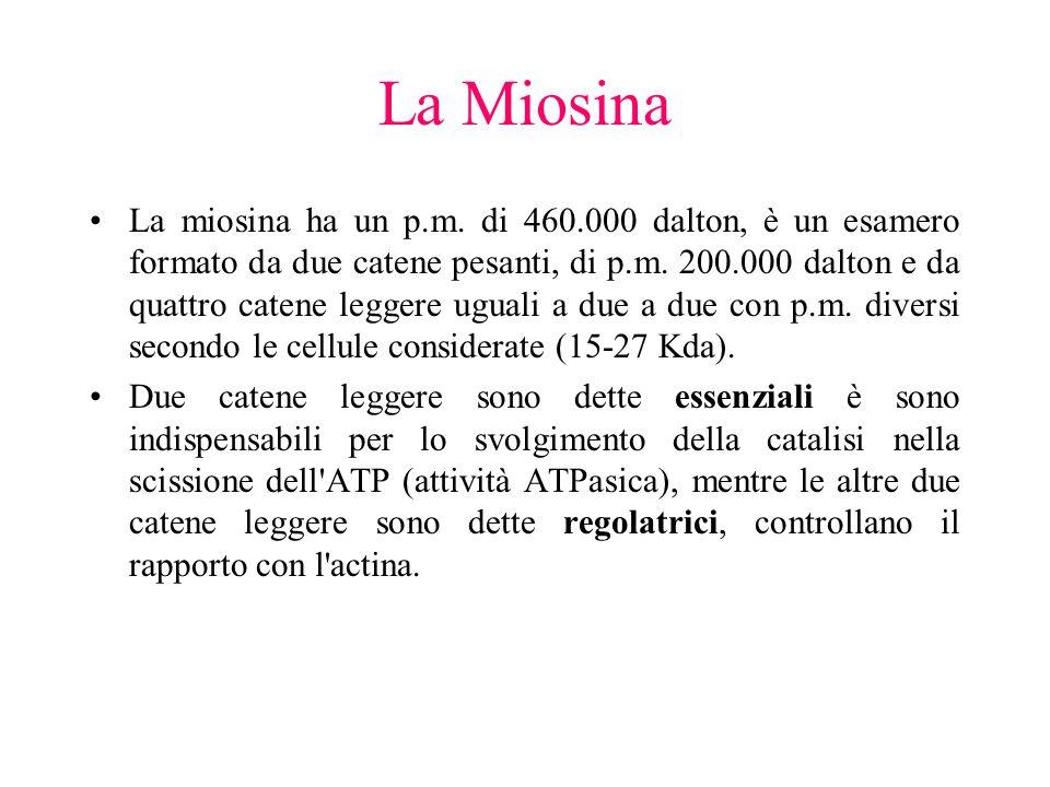 La Miosina