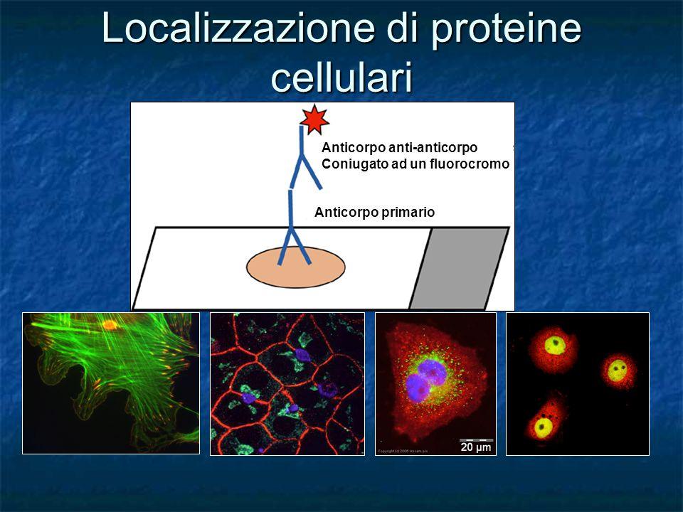 Localizzazione di proteine cellulari