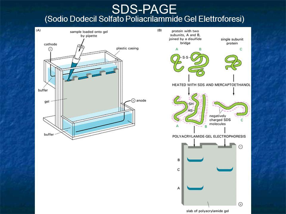 (Sodio Dodecil Solfato Poliacrilammide Gel Elettroforesi)