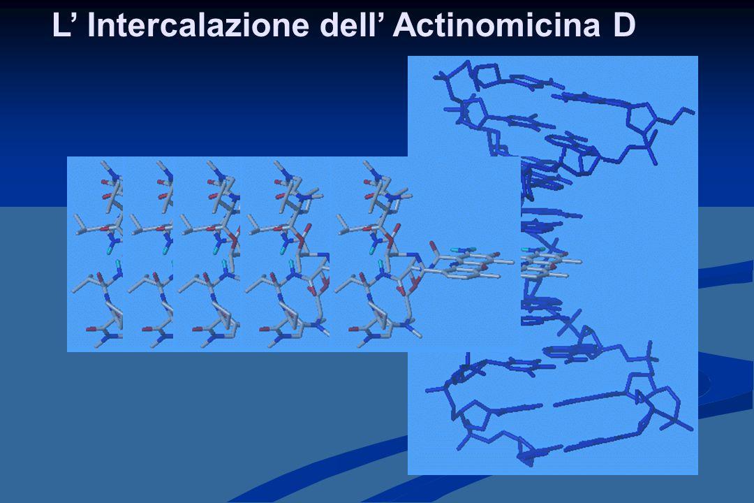 L' Intercalazione dell' Actinomicina D