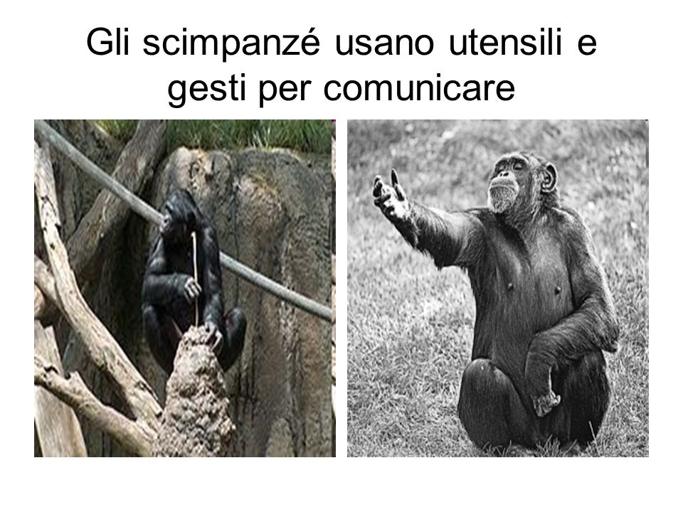 Gli scimpanzé usano utensili e gesti per comunicare