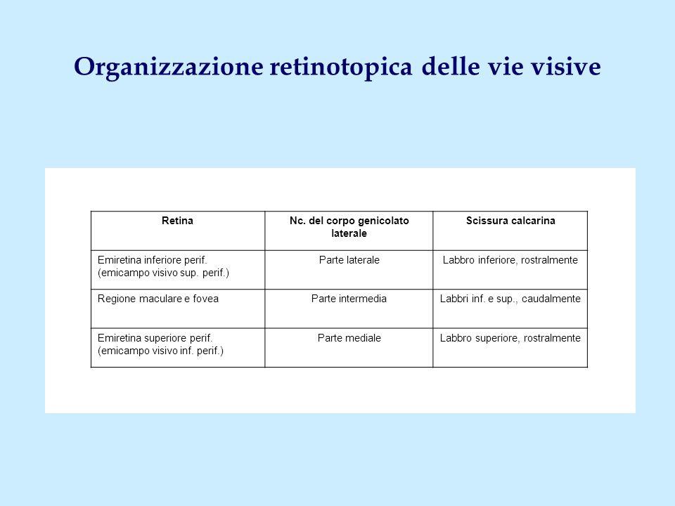 Organizzazione retinotopica delle vie visive