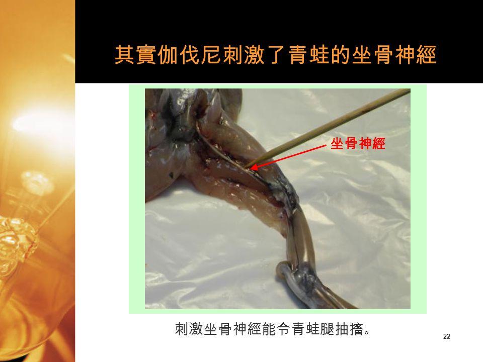 其實伽伐尼刺激了青蛙的坐骨神經 坐骨神經 刺激坐骨神經能令青蛙腿抽搐。