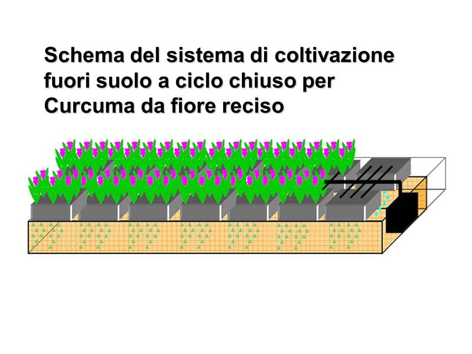 Schema del sistema di coltivazione fuori suolo a ciclo chiuso per Curcuma da fiore reciso