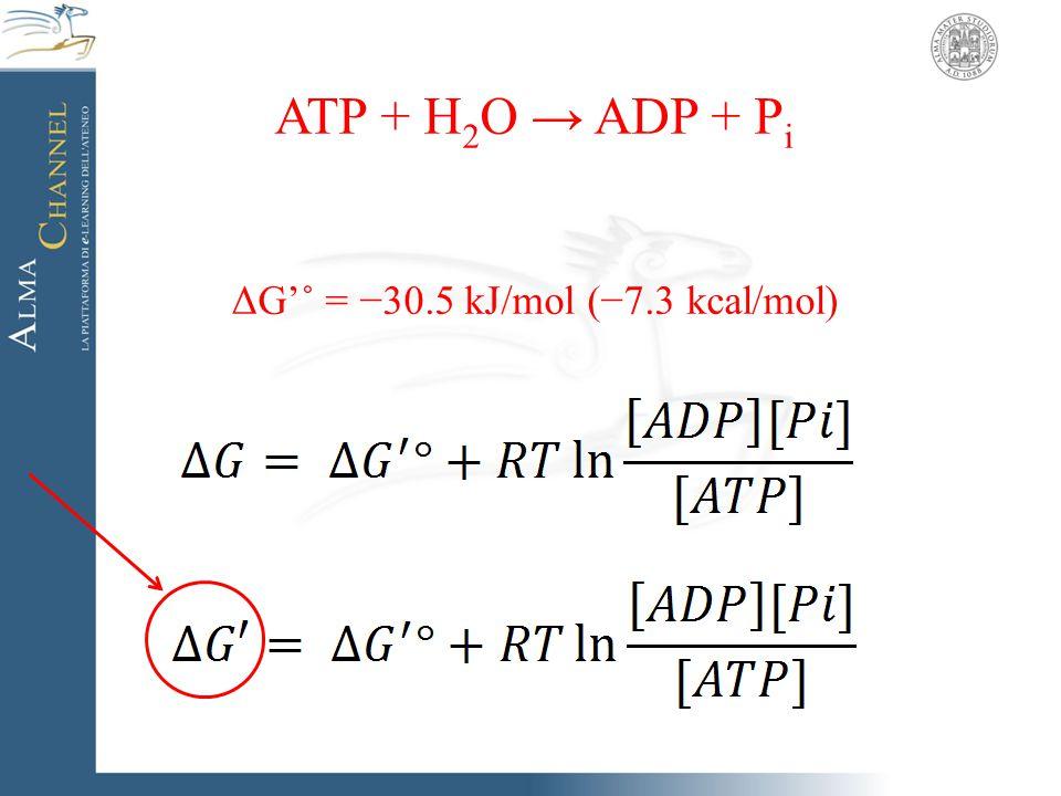 ΔG'˚ = −30.5 kJ/mol (−7.3 kcal/mol)
