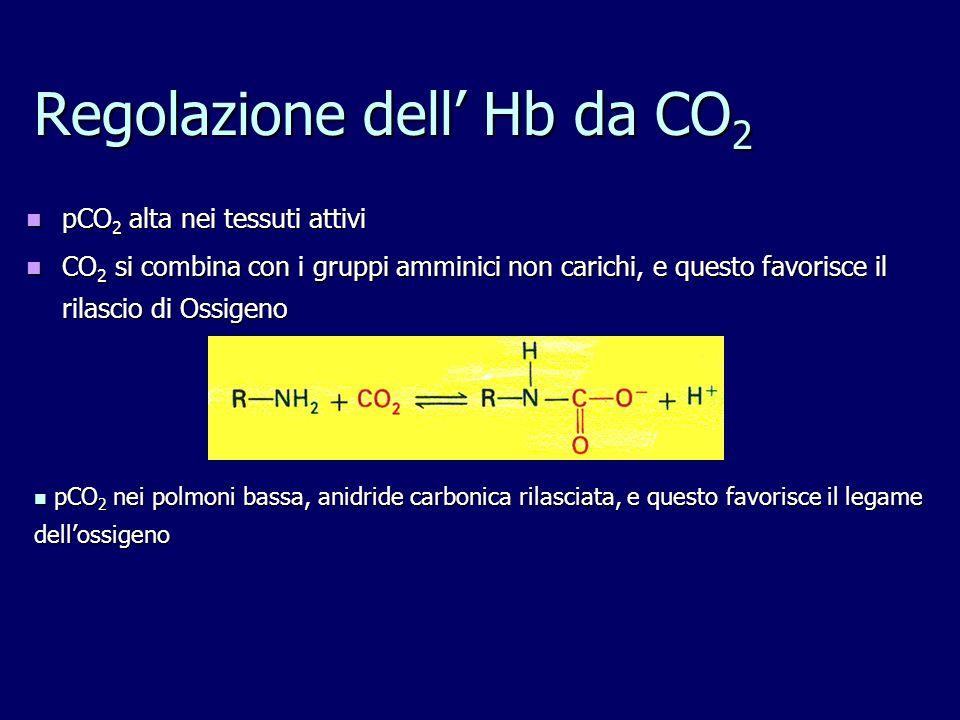 Regolazione dell' Hb da CO2