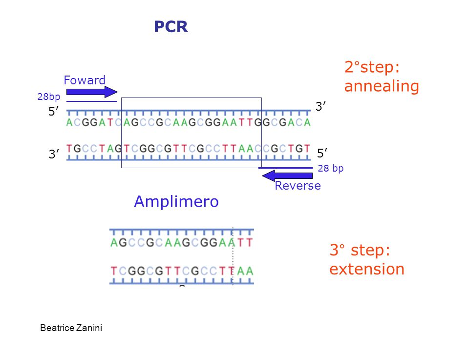 PCR 2°step: annealing Amplimero 3° step: extension Foward 3' 5' 3' 5'
