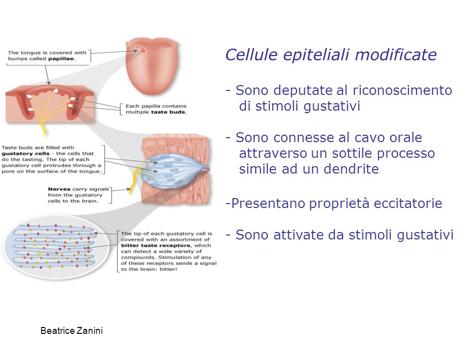 Cellule epiteliali modificate