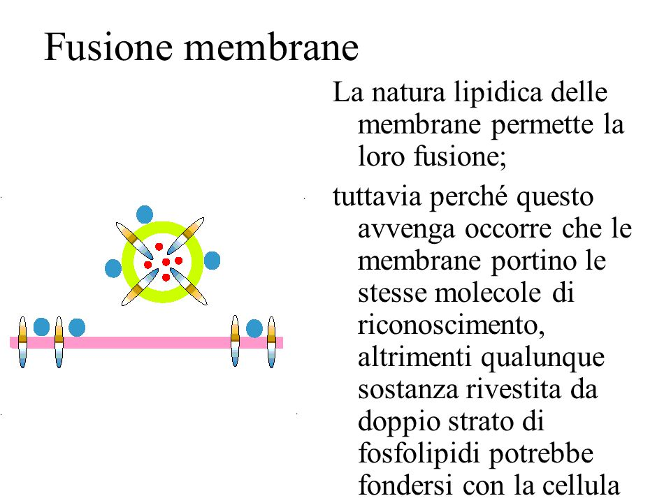 Fusione membrane La natura lipidica delle membrane permette la loro fusione;