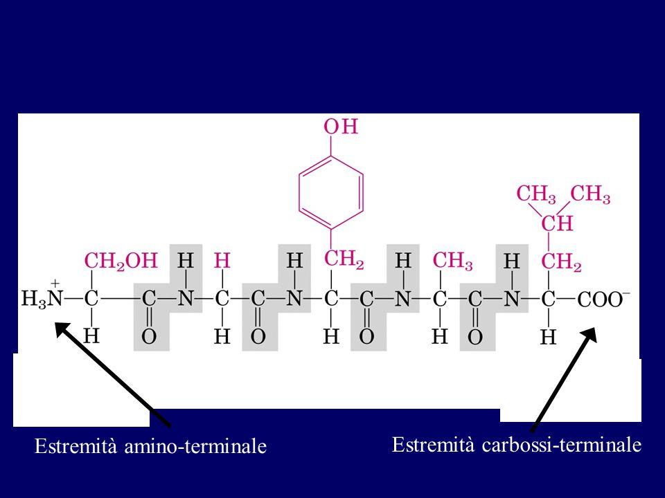 Estremità amino-terminale