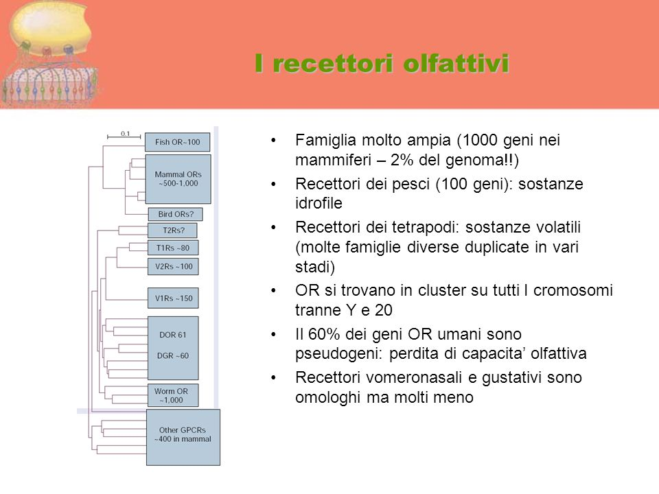 I recettori olfattivi Famiglia molto ampia (1000 geni nei mammiferi – 2% del genoma!!) Recettori dei pesci (100 geni): sostanze idrofile.