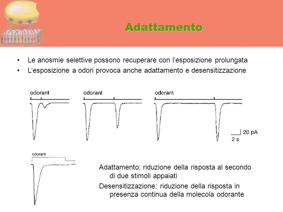 Adattamento Le anosmie selettive possono recuperare con l'esposizione prolungata.