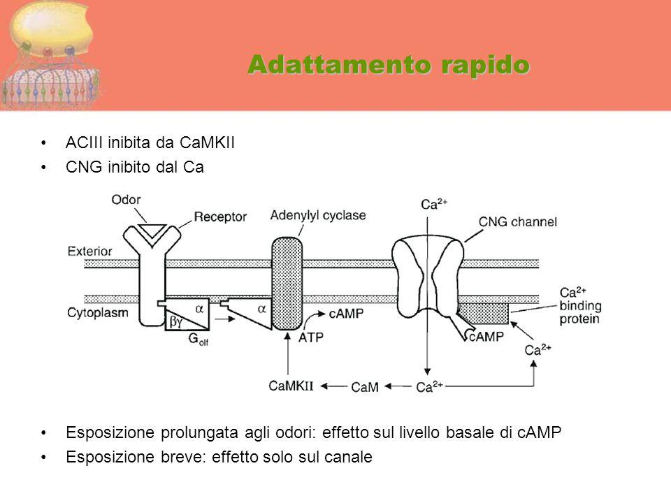 Adattamento rapido ACIII inibita da CaMKII CNG inibito dal Ca