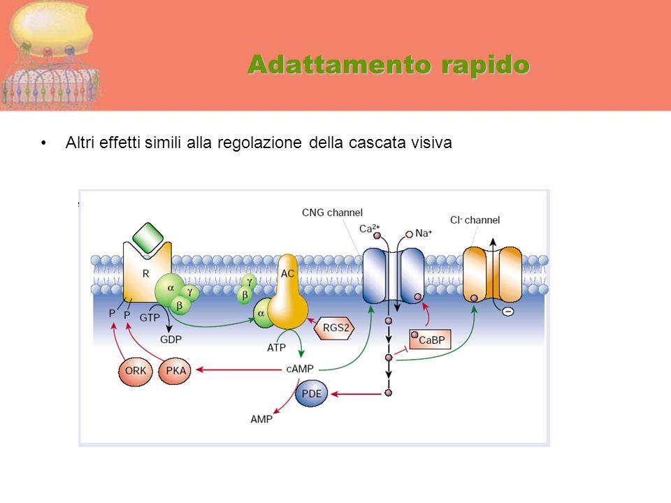 Adattamento rapido Altri effetti simili alla regolazione della cascata visiva