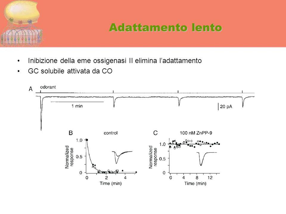 Adattamento lento Inibizione della eme ossigenasi II elimina l'adattamento.