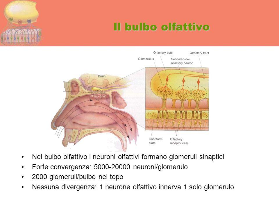 Il bulbo olfattivo Nel bulbo olfattivo i neuroni olfattivi formano glomeruli sinaptici. Forte convergenza: 5000-20000 neuroni/glomerulo.
