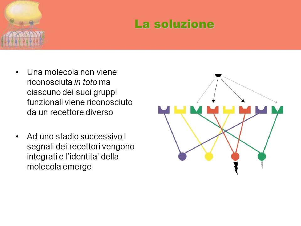 La soluzione Una molecola non viene riconosciuta in toto ma ciascuno dei suoi gruppi funzionali viene riconosciuto da un recettore diverso.